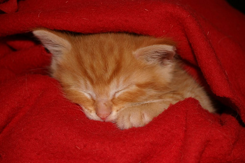 Sleeping tomcat kitten